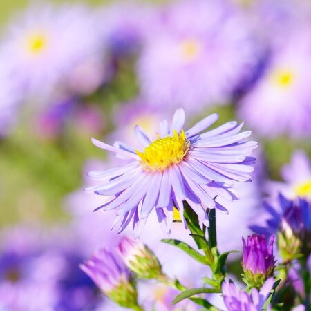 violeta: Violeta aster flores fondo del otoño