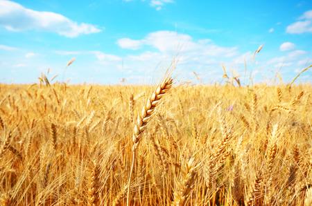 Tarwe veld tegen zonlicht onder blauwe lucht Stockfoto