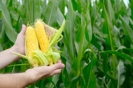 옥수수 밭을 검사하는 농부가 배경에서 옥수수 밭을 조사하다. 스톡 콘텐츠