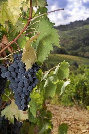 A bunch of ripe Sangiovese grapes on the vine in the Chianti region, Tuscany, Italy Standard-Bild