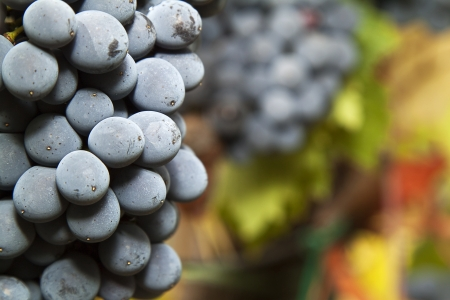 Closeup on a ripe bunch of Sangiovese grapes in a vineyard in the Chianti Classico region of Tuscany, Italy  Selective focus