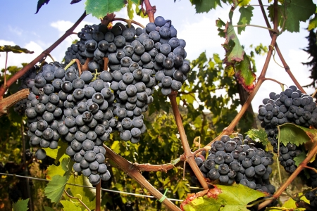 Gorgeous huge cluster of ripe Sangiovese grapes on the vine in Tuscany