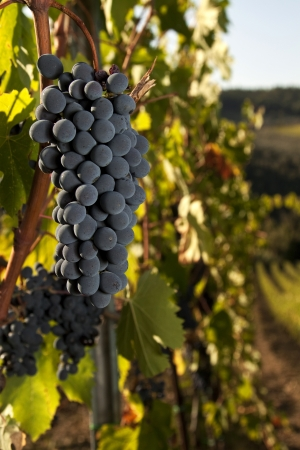 Ripe bunch of Sangiovese grapes in a vineyard in the Chianti Classico region of Tuscany, Italy  photo