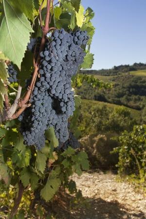 Ripe grapes on the vine in the Chianti area, Tuscany