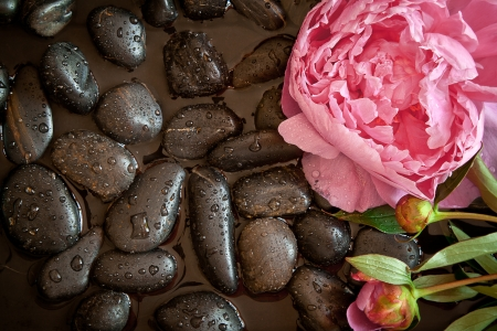 white pebble: Pink peony flower on black pebbles with water. Spa scene.