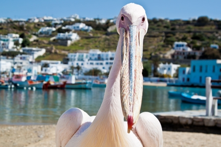 mykonos: Petros the pelican on the beach at the old harbour in Mykonos, Greece