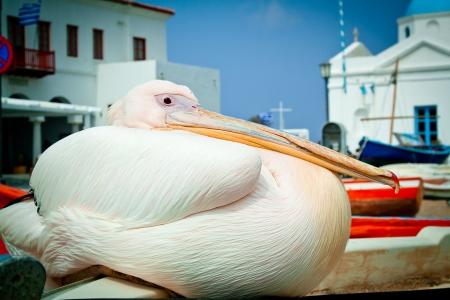 backstreet: Petros the pelican perching on a boat in the old harbour at Mykonos, Greece, with the church in the background