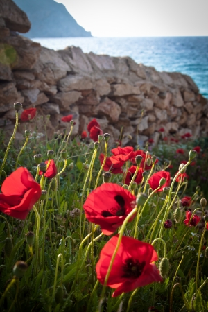 portrait orientation: Poppies by the beach, against the  beautiful blue sea of Greece. Portrait orientation. Stock Photo