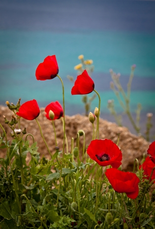 Poppies by the beach, against a beautiful blue sea. Portrait orientation. photo