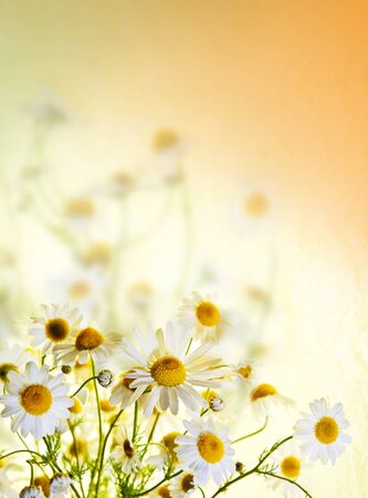 chamomile tea: Beautiful chamomile flowers picked up in a field, portrait  Selective focus and plenty of copyspace