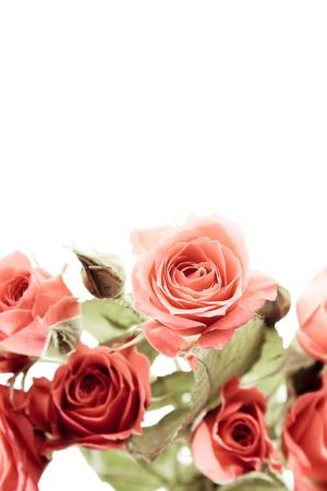 Rosas en fondo blanco puro