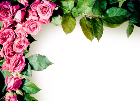 A frame of beautiful pink roses and rose leaves on pure white background