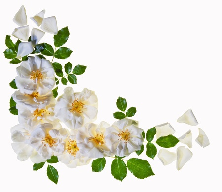 A border of beautful pure white roses isolated against white background   photo