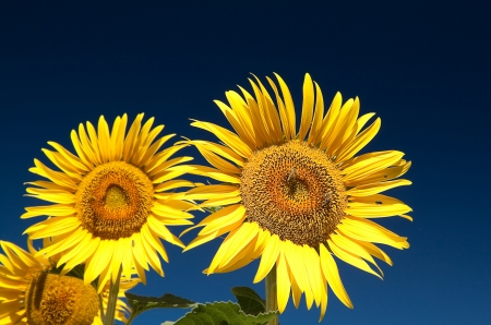 Huge sunflowers visited by lots of bees in a field, against dark blue sky  polarising filter used   photo