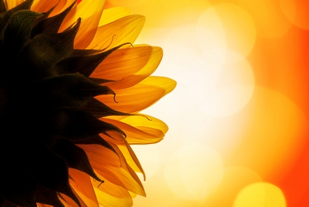 The back of a sunflower turning its face towards the sun  Stock Photo