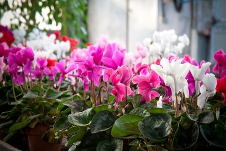 Winter flowers: cyclamen flowers in a greenhouse, landscape orientation. Stock Photo