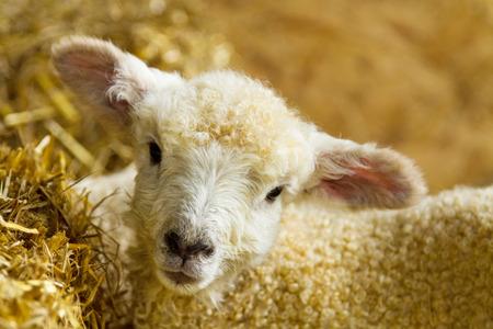 pasen schaap: Leuke pasgeboren lammeren, van de Lincolnshire lange wollen ras.