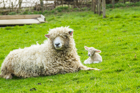 ewe: A Lincolnshire Long Wool sheep with her newborn lamb in a green field in April. Idyllic rural scene.