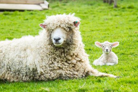 pecora: Un Lincolnshire lunga lana di pecora con il suo agnello appena nato in un campo verde nel mese di aprile. Rurale scena idilliaca.