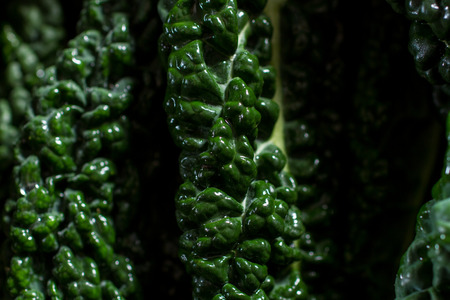 cruciferous: Abstract vegetable landscape: close up on black cabbage leaves, all dewy and fresh from the vegetable garden. Macro photography.