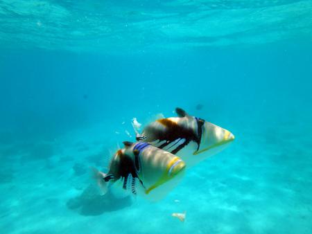 モーレア島、フランス領ポリネシアのラグーンのモンガラカワハギ。