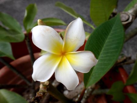 polynesia: Frangipani, Moorea, French Polynesia Stock Photo
