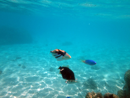 polynesia: Triggerfish in the lagoon of Moorea, French Polynesia.