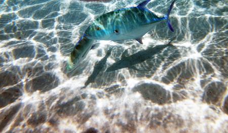 sandbank: Marine life on the sandbank in the lagoon of Moorea, French Polynesia.