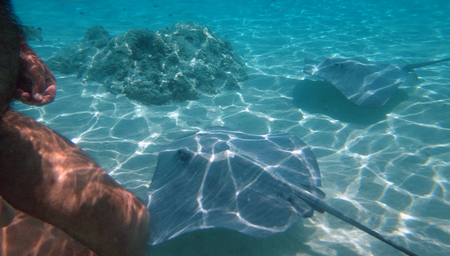 moorea: Swimming with friendly stingrays in Moorea, French Polynesia.