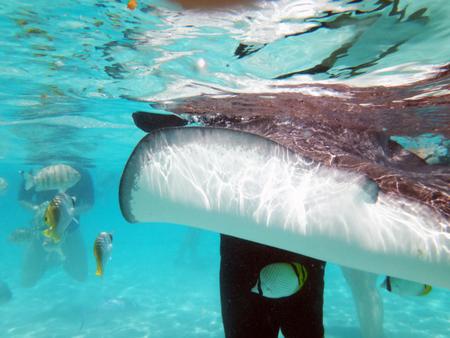 stingrays: Swimming with friendly stingrays in Moorea, French Polynesia.