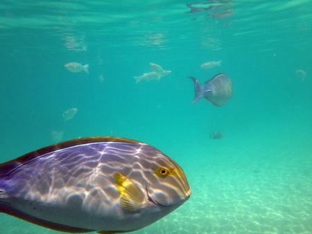 wrasse: Marine life in the lagoon of Papeete, French Polynesia. Stock Photo