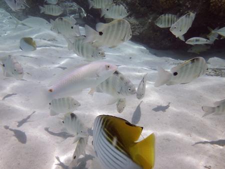 bora: Curious friendly angelfish of Bora Bora, French Polynesia.