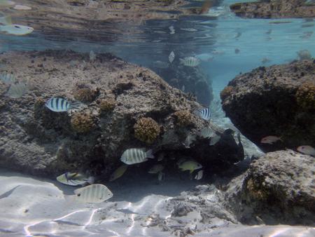 wrasse: Fish and sea life around the rocks at Matira beach, Bora Bora. Stock Photo