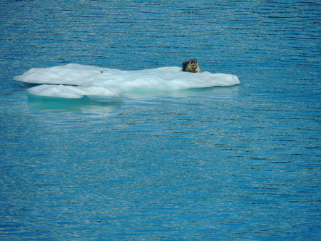 Seal resting on an iceberg in College Fjord, Alaska.