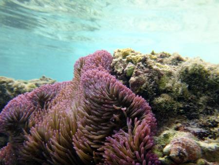 柔らかい紫サンゴ キリウィナ, パプア ニューギニアの。