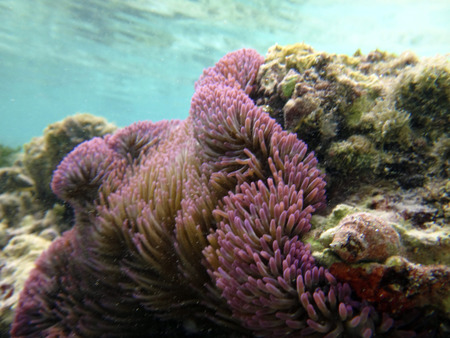 Soft purple coral of Kiriwina, Papua New Guinea. Stock Photo