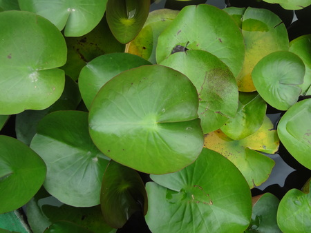 Fresh green lotus leaves.