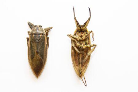 Lethocerus indicus on white background,giant water bug in Thailand.Lethocerus indicus isolated on white background.