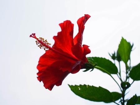 hibisco: Las plantas de flores hermosas con 200 a 300 especies. Foto de archivo