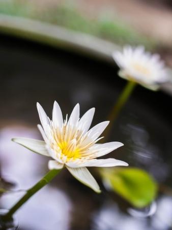 White Lotus bloom  in the morning