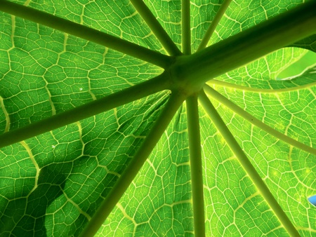 sun - ray appearance of the papaya leaf