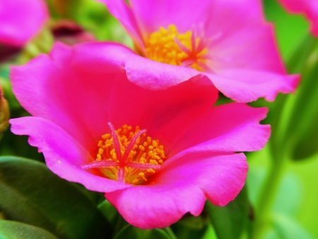 the small colorful flower that bloom at the late of day  Imagens
