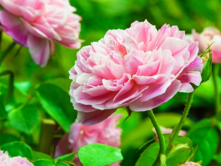 rosoideae: the pink roses  in full bloom