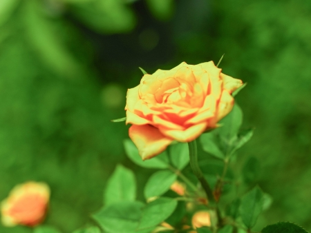 rosoideae: the yellow rose is blooming  Stock Photo