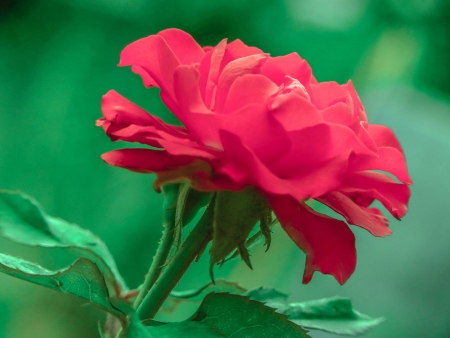 a blooming red rose Stock Photo