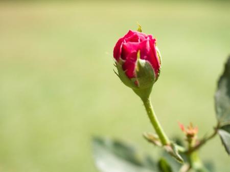 rosoideae: symbol of love