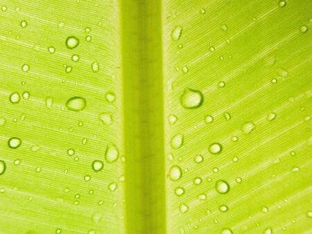 dorsal: water drops onf the dorsal surface of a leaf