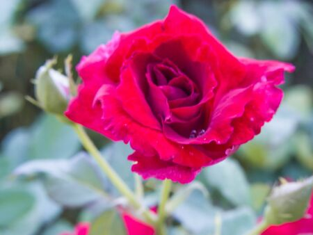 rosoideae: the red rose for the lovers