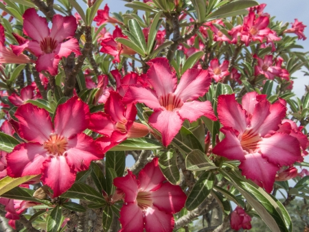 drought    resistant plant: a tree with beautiful flower and auspicious name
