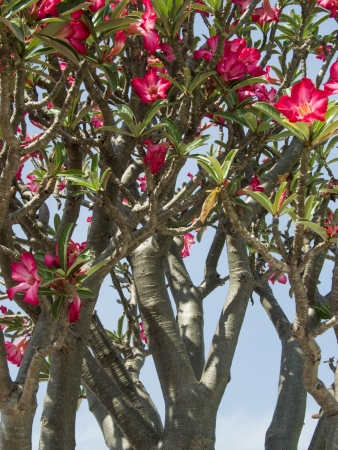 drought    resistant plant: The beautiful  curtain of red flowers of Desert Roses  Stock Photo